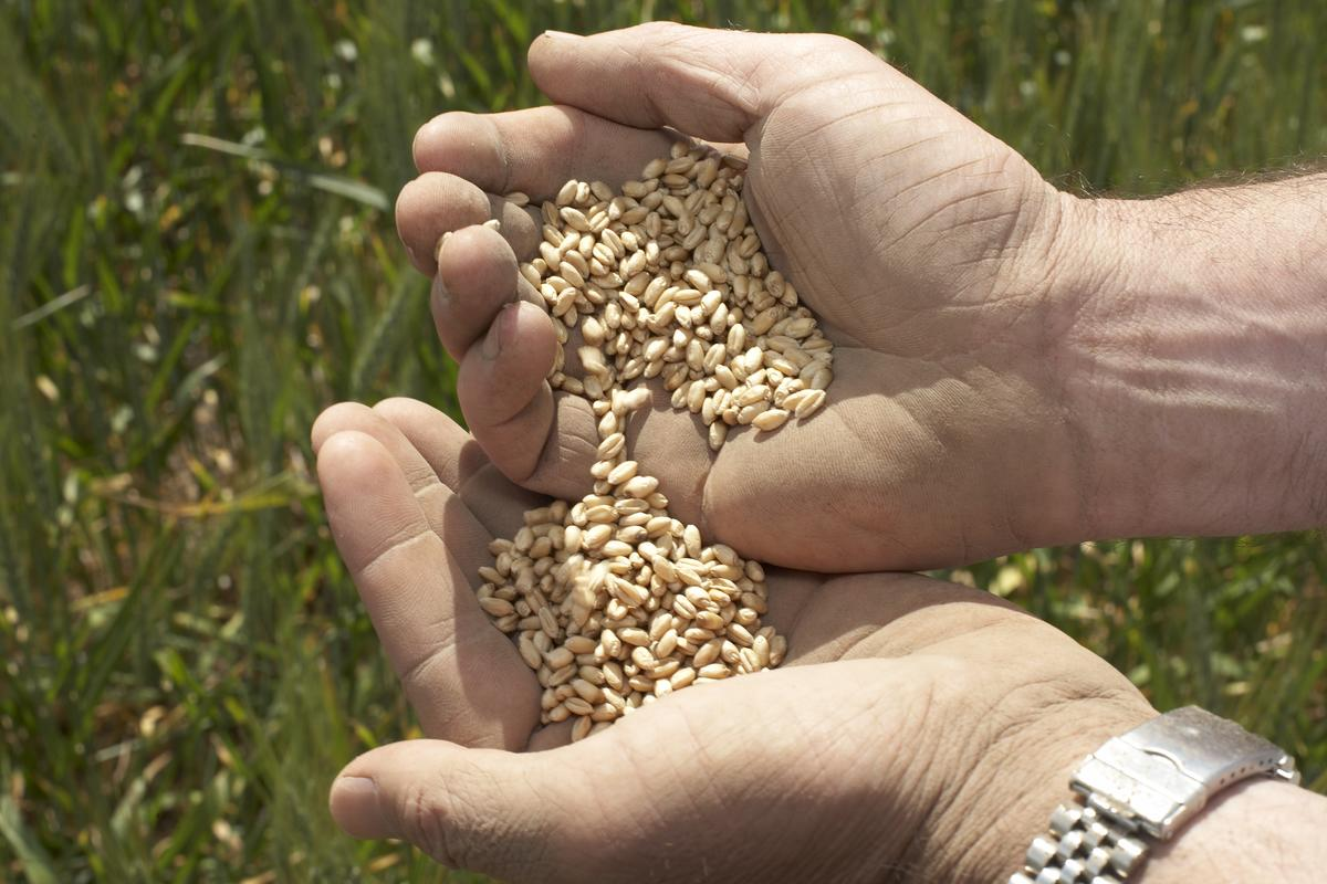 Farmer's hands holding seeds with field in background