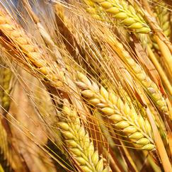 Barley-crop